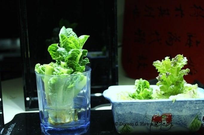 regrow lettuce for kid