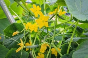 How to Increase Female Flowers in Cucumber Plants