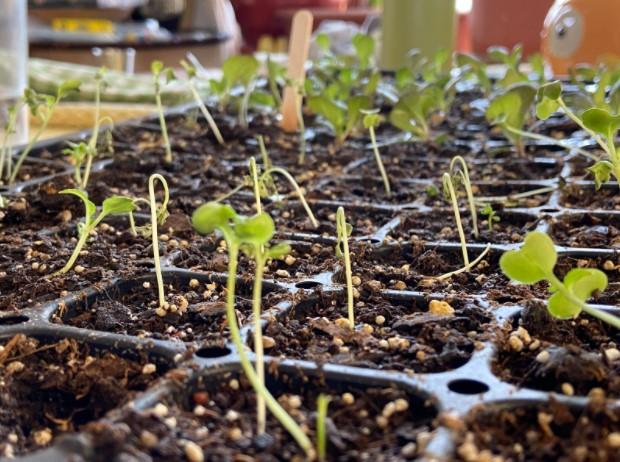 Overwatering seedlings