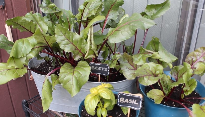 How to Grow Beets in Containers