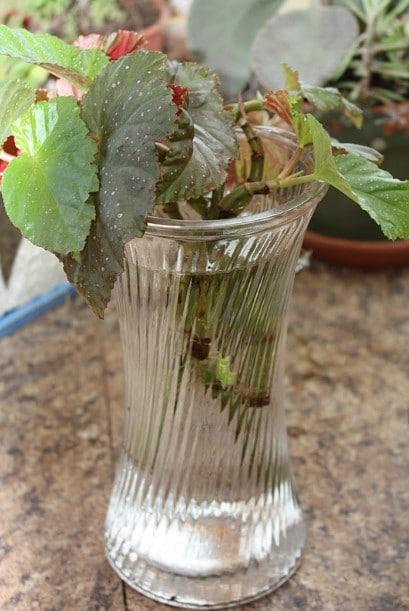 Begonias Plant