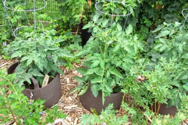 What Size Grow Bag for Tomatoes?