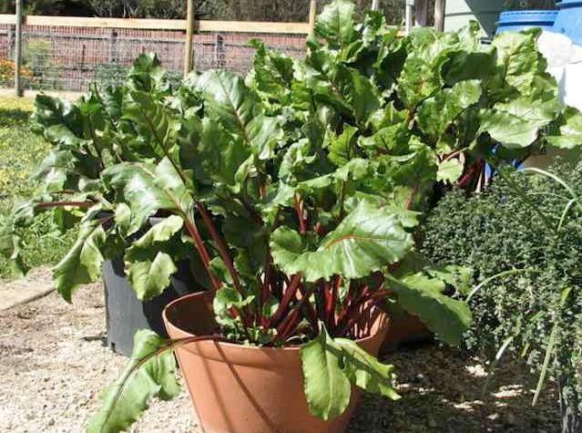 Growing beets in pots