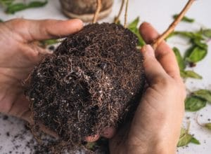 Treating Root Rot with Hydrogen Peroxide