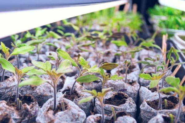 How Much Light Do Seedlings Need?
