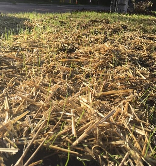 Mulch for lawn seed