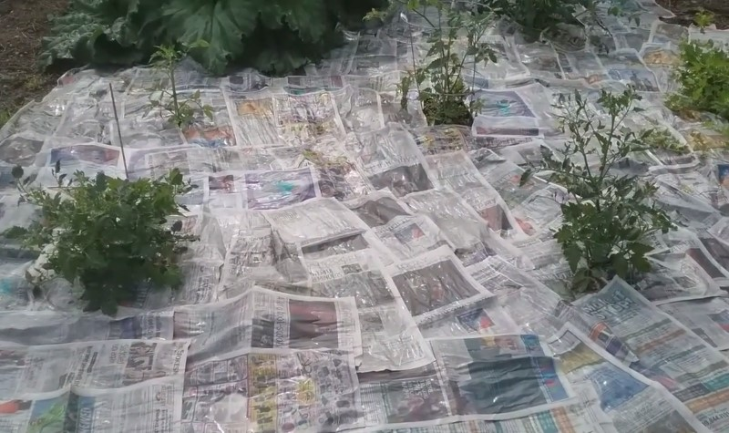 Using newspaper to kill weeds