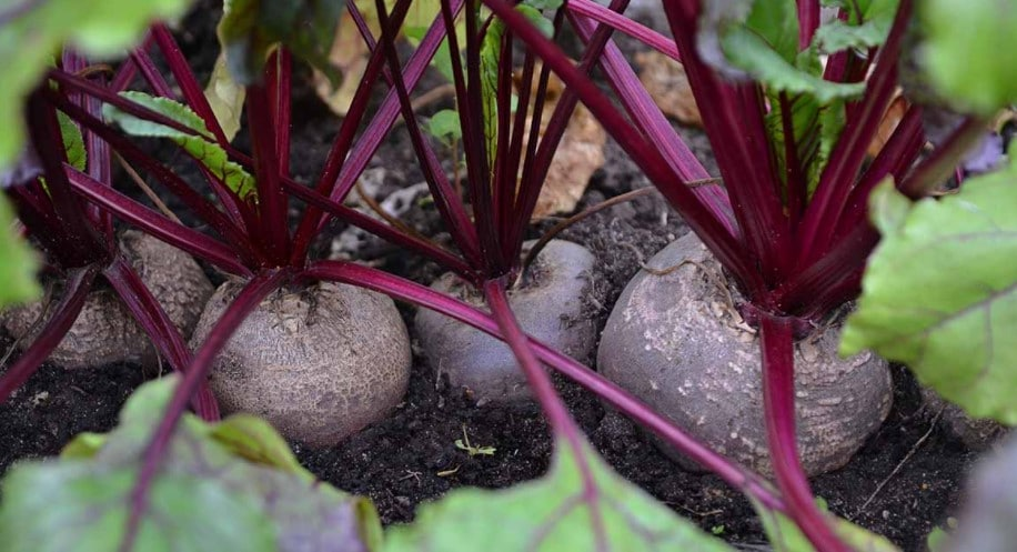 Tips on grow beets in containers