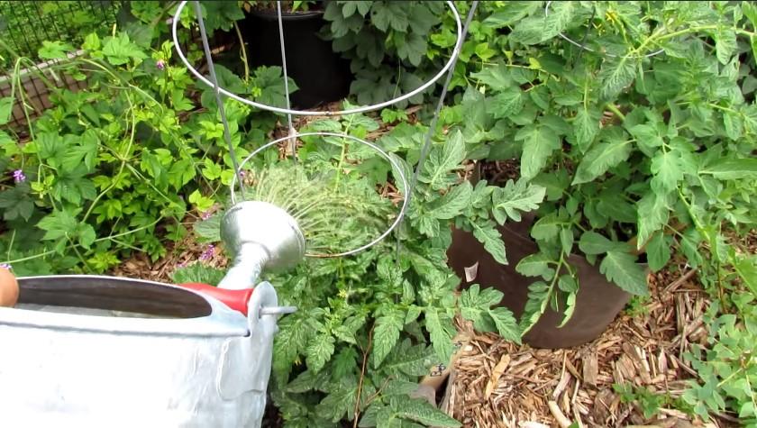 Watering grow bag tomatoes