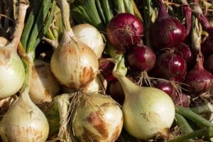 How Do I Get My Onions to Grow Bigger – 8 Easy Ways