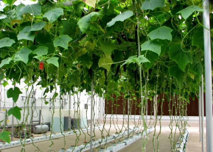 cucumbers hydroponics