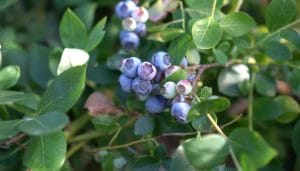 How to Fertilize Blueberry Plants?