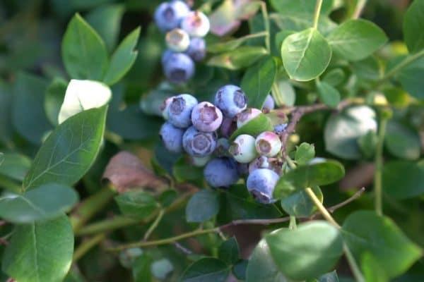 How to Fertilize Blueberry Plants?