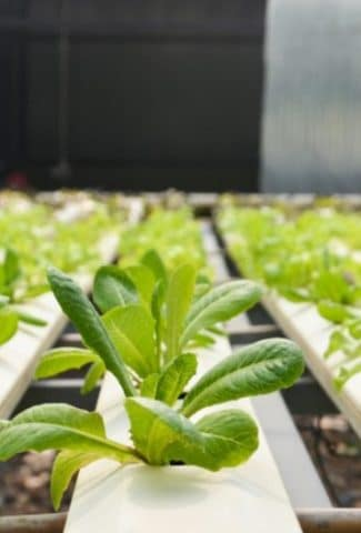 Top 10 Fast Growing Hydroponic Plants