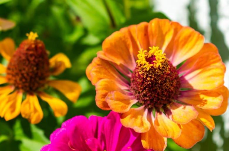 Zinnias flower