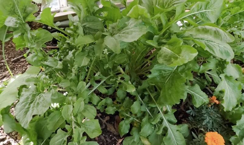 Arugula plant