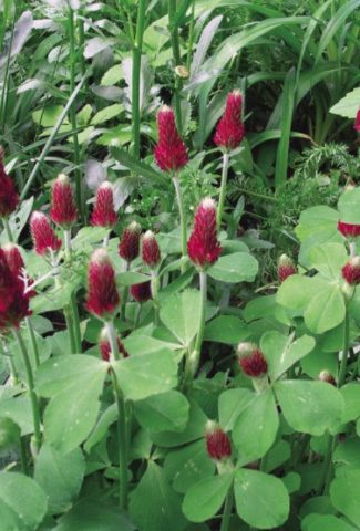 How to Get Rid of Clover in Flower Bed?