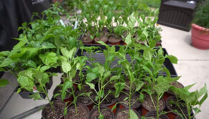 Hardening off bell pepper plants