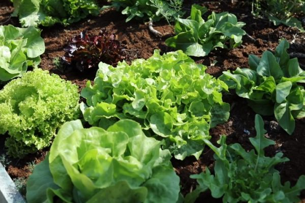 Lettuce and light