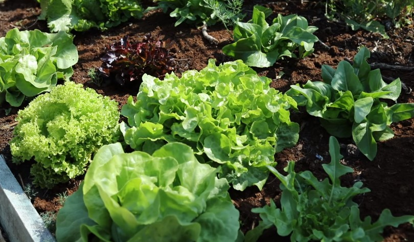 How Much Sun Does Lettuce Need to Grow?