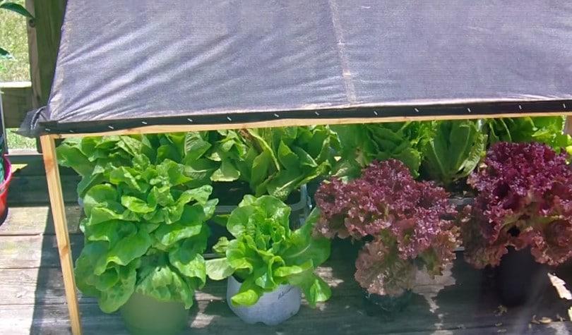 Shade lettuce