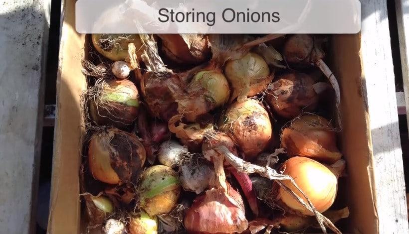 Storing onions
