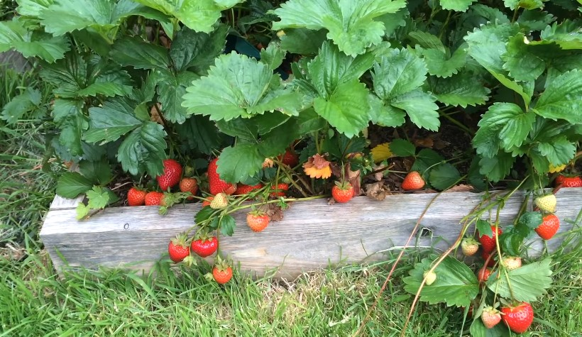 How to Make Strawberry Plants Produce More Fruit