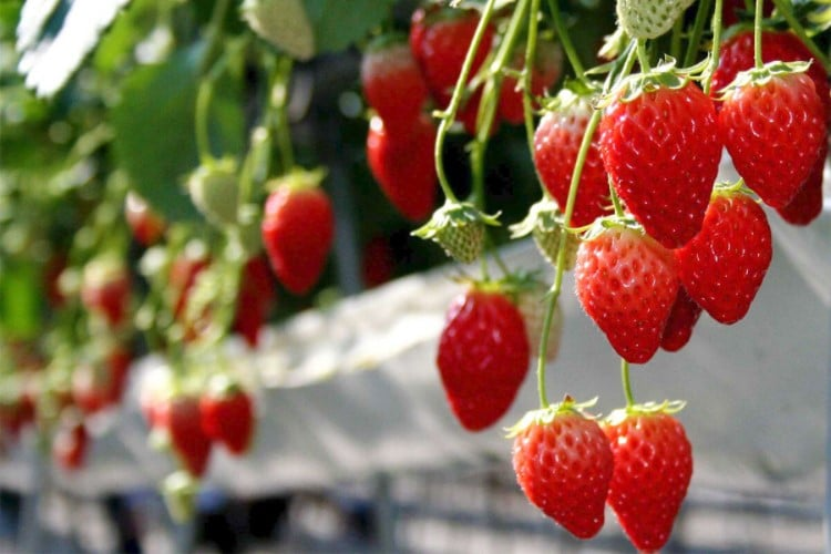 How to make strawberry plants produce more fruit?