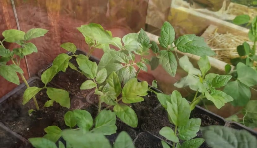 When to Transplant Tomato Seedlings from Seed Tray?