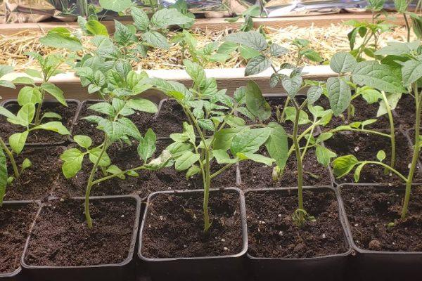 Transplanting-tomato-seedlings-to-larger-pots