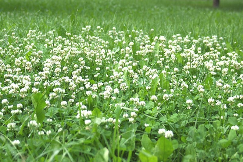 Why do i have so much clover in my lawn?