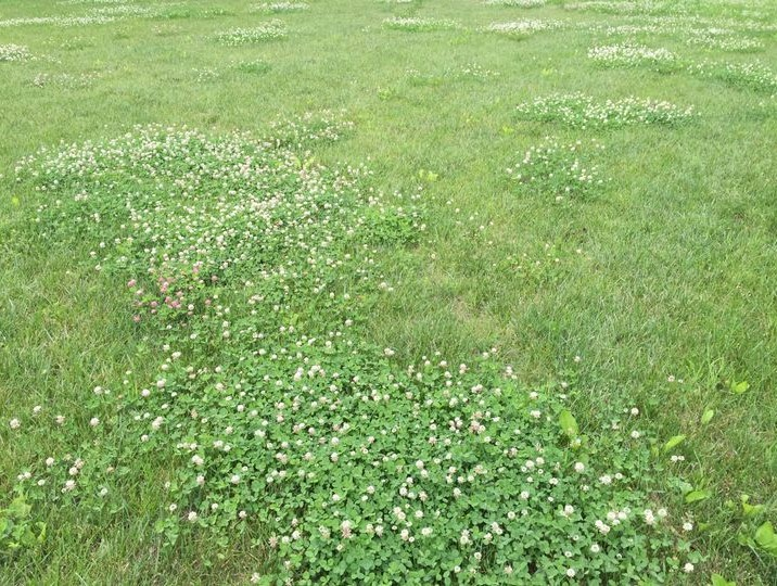Clover taking over the yard
